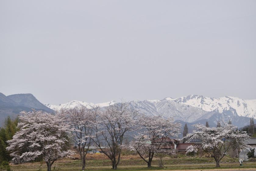 桜も少しずつ咲いてきましたよ!!003